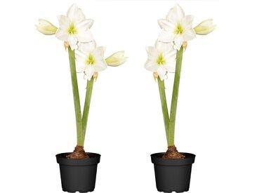 toom Amaryllis mit 2 Trieben weiß 12 cm Topf, 2er-Set