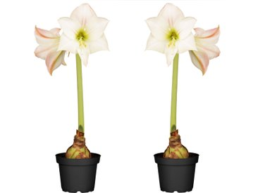 toom Amaryllis weiß-pink 12 cm Topf, 2er-Set