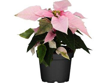 toom Fairtrade Weihnachtsstern rosa 10,5 cm Topf