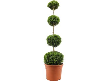 Buchsbaum-Stamm mit vier Kugeln, 31 cm Topf