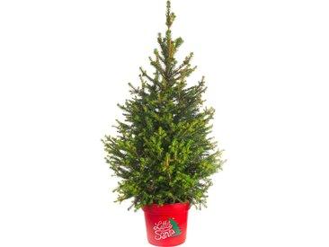 toom Zuckerhutfichte 'Little Santa®' 23 cm Topf