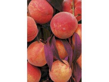 Naturtalent by toom® Bio Rotblätteriger Pfirsich 'Rubi', Busch®