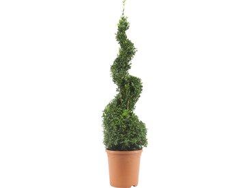 Buchsbaum-Spirale 70 cm, 23 cm Topf