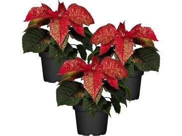 toom Fairtrade Weihnachtsstern rot mit Glitter 7 cm Topf, 3er-Set