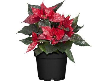 toom Fairtrade Weihnachtsstern rot Glitter mit 13 cm Topf