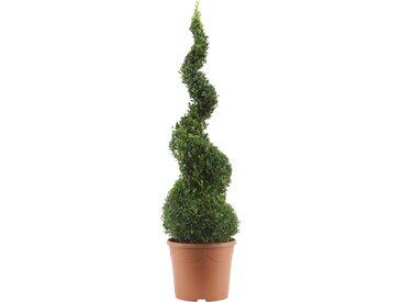 Buchsbaum-Spirale 90 cm, 31 cm Topf