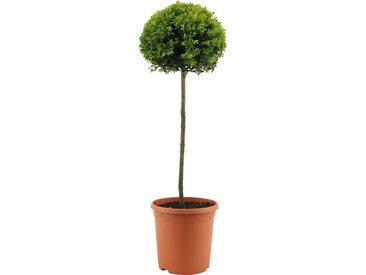 toom Buchsbaum-Stamm mit einer Kugel, 23 cm Topf