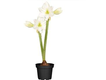 toom Amaryllis mit 2 Trieben weiß 12 cm Topf