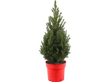 toom Zuckerhutfichte 'December' im roten Dekotopf Ø 19 cm