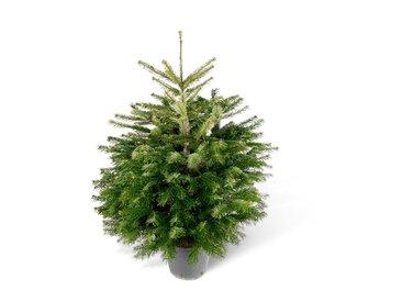 Fair Trees® Weihnachtsbaum Nordmanntanne topfgedrückt 80-100 cm