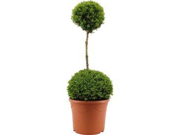 Buchsbaum-Stamm mit zwei Kugeln, 31 cm Topf