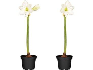 toom Amaryllis weiß 12 cm Topf, 2er-Set