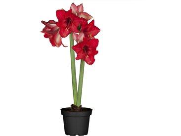toom Amaryllis mit 2 Trieben rot 12 cm Topf