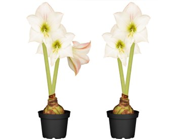 toom Amaryllis mit 2 Trieben weiß-pink 12 cm Topf, 2er-Set