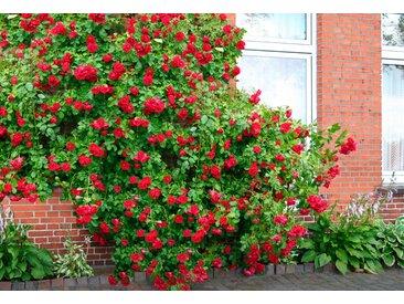 BCM Gehölze Kletterrose Sympathie 1 St. rot Ziergehölze Pflanzen Garten Balkon