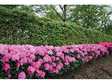 BCM Hecken Rhododendron Roseum Elegans, 2 Pflanzen St. rosa Heckenpflanzen Garten Balkon