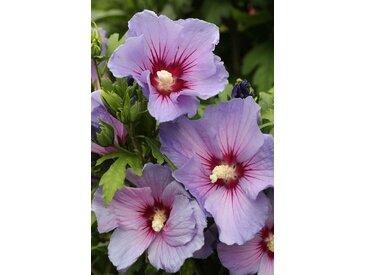 BCM Gehölze Hibiscus Blue Bird, Höhe: 80 cm, 1 Pflanze St. lila Ziergehölze Pflanzen Garten Balkon
