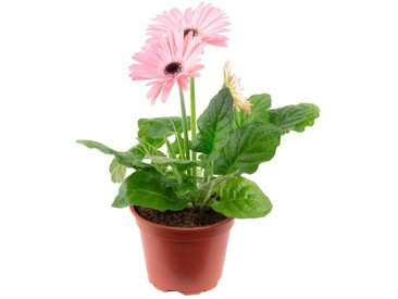 Flowerbox Zimmerpflanze »Gerbera«