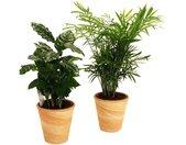 Dominik Zimmerpflanze »Palmen-Set«, Höhe: 15 cm, 2 Pflanzen in Dekotöpfen, grün