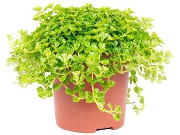 Flowerbox Zimmerpflanze »Pilea depressa«