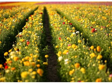 Papermoon Fototapete »Flower Field in San Diego«, glatt, 5 St.