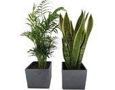 Dominik Zimmerpflanze »Palmen-Set«, Höhe: 30 cm, 2 Pflanzen in Dekotöpfen, grün