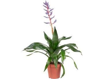 Flowerbox Zimmerpflanze »Aechmea fasciata Blue Rain«