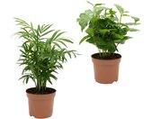 Dominik Zimmerpflanze »Palmen-Set«, Höhe: 30 cm, 2 Pflanzen, grün