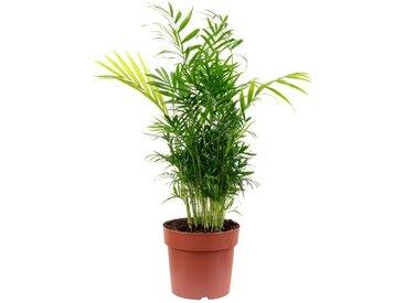 Flowerbox Zimmerpflanze »Chamaedorea elegans«