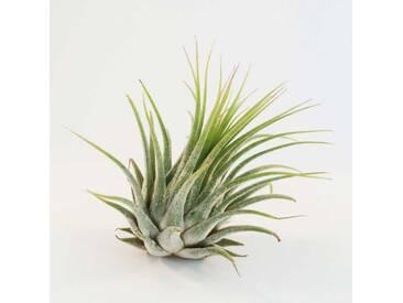 Tillandsien Ionantha Luftpflanze 6 x 8 cm