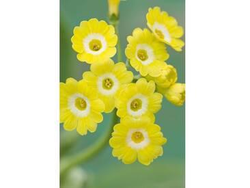 Gerahmter Fotdruck W & S Lockyer Auricula Nursery - Auricula Honey Dawn von Clive Nichols