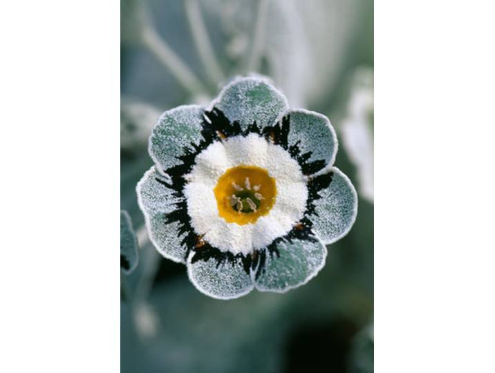 Gerahmter Fotodruck Primula Auricula ´Lago´ von...
