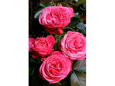 BCM Set: Beetrose »Leonardo da Vinci«, mit blauer Clematis, rosa, 1 Pflanze, rosa