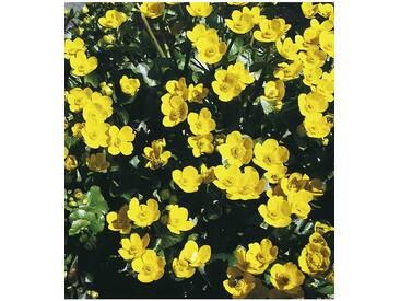 BCM Staudengewächs »Sumpfdotterblume« (3 Pfl.), gelb, 3 Pflanzen, gelb