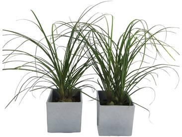 Dominik DOMINIK Zimmerpflanze »Elefantenfuß«, Höhe: 30 cm, 2 Pflanzen in Dekotöpfen, grün, 3 Pflanzen, grün