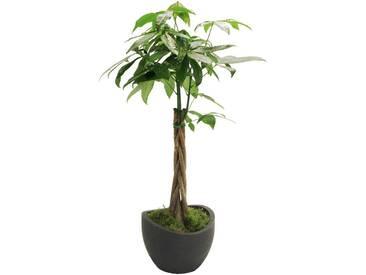 Dominik DOMINIK Zimmerpflanze »Glückskastanie«, Höhe: 60 cm, 1 Pflanze im Dekotopf, grün, 1 Pflanze, grün