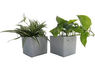 Dominik DOMINIK Zimmerpflanze »Grünpflanzen-Set«, Höhe: 15 cm, 2 Pflanzen in Dekotöpfen, grün, 2 Pflanzen, grün