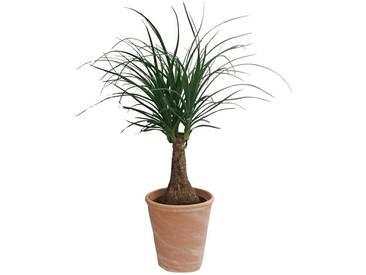 Dominik DOMINIK Zimmerpflanze »Elefantenfuß«, Höhe: 30 cm, 1 Pflanze im Dekotopf, grün, 1 Pflanze, grün