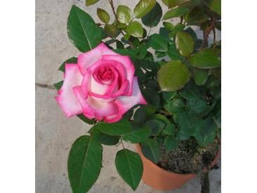 BCM Beetrose »Parfum DOrleans«, Höhe 30 cm, 3 Pflanzen, rosa, 3 Pflanzen, rosa