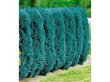 BCM Hecke »Blaue Scheinzypresse«, blau, 10 Pflanzen, blau