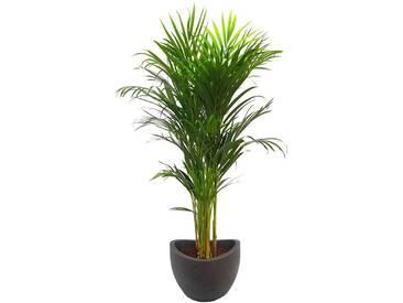 Dominik DOMINIK Zimmerpflanze »Goldfruchtpalme«, Höhe: 90 cm, 1 Pflanze im Dekotopf, grün, 1 Pflanze, grün