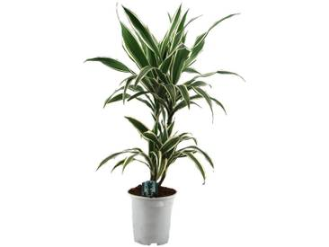 Dominik DOMINIK Zimmerpflanze »Drazena«, Höhe: 50 cm, 1 Pflanze, grün, 1 Pflanze, grün