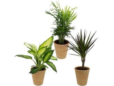 Dominik DOMINIK Zimmerpflanze »Grünpflanzen-Set«, Höhe: 30 cm, 3 Pflanzen in Dekotöpfen, grün, 3 Pflanzen, grün