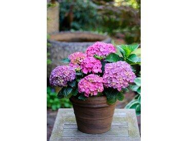 BCM Hortensie »Renate Steiniger«, Höhe: 30-40 cm, 2 Pflanze, blau, 2 Pflanzen, blau