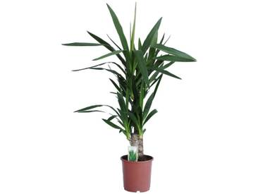 Dominik DOMINIK Zimmerpflanze »Yucca-Palme«, Höhe: 60 cm, 1 Pflanze, grün, 1 Pflanze, grün