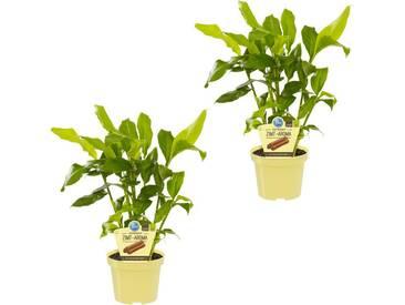 Dominik DOMINIK Zimmerpflanze »Zimtaroma«, Höhe: 15 cm, 2 Pflanzen, grün, 2 Pflanzen, grün