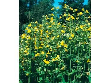 BCM Set: Staudengewächs »Gauklerblumen« (3 Pfl.), gelb, 3 Pflanzen, gelb