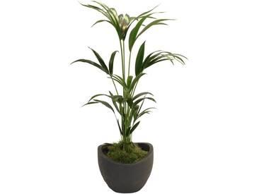 Dominik DOMINIK Zimmerpflanze »Kentia-Palme«, Höhe: 60 cm, 1 Pflanze im Dekotopf, grün, 1 Pflanze, grün