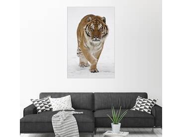 Posterlounge Wandbild - James Hager »Sibirischer Tiger im Schnee«, weiß, Holzbild, 100 x 150 cm, weiß