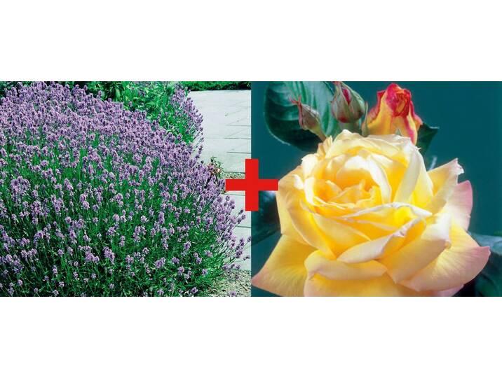 BCM Set: Beetrose »Rose Peace & Lavendel«, bunt...